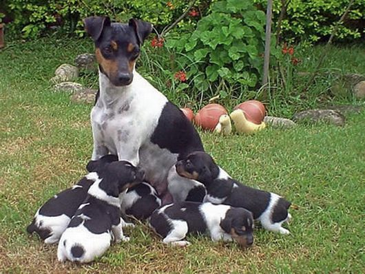 Brazilian Terrier with puppies