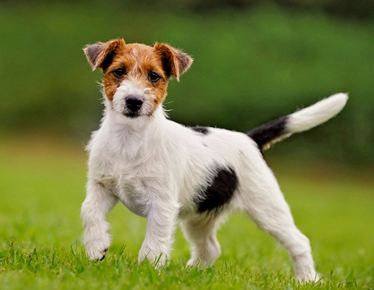 dog, squarely built is today known as the Parson Russell Terrier ... White Parson Russell Terrier