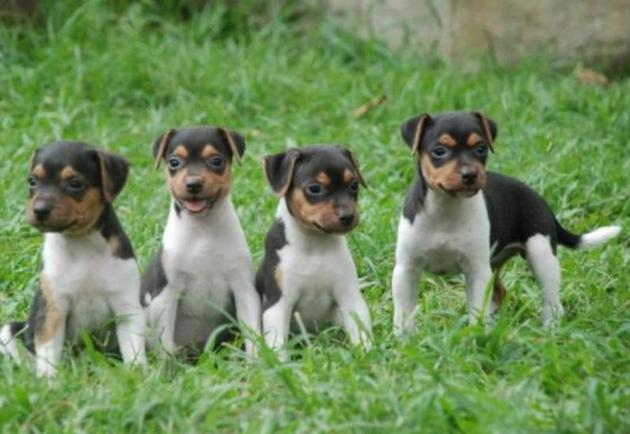 Brazilian Terrier young dogs