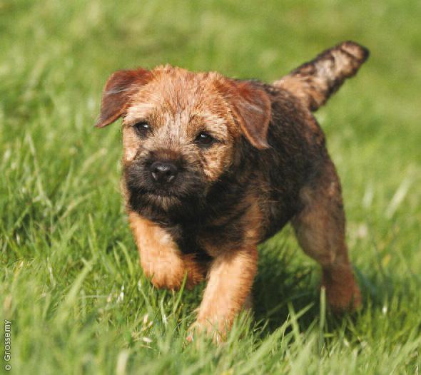 Border Terrier Girl Dog Names
