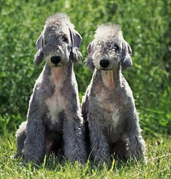 Bedlington Terriers puppies