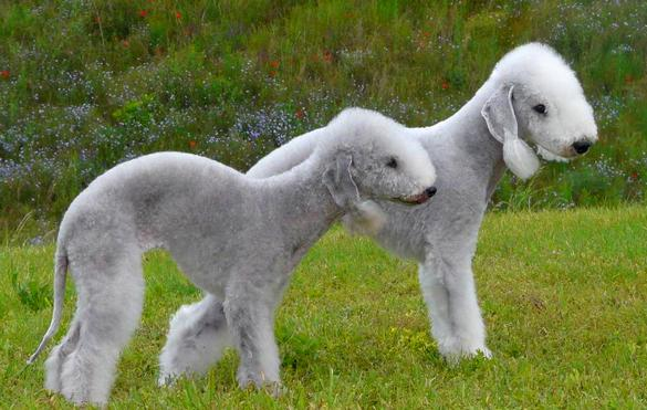 Bedlington Terriers breed