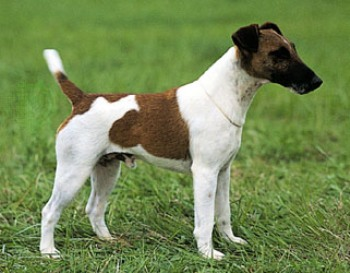 Fox Terrier Smooth - Jagdterrier
