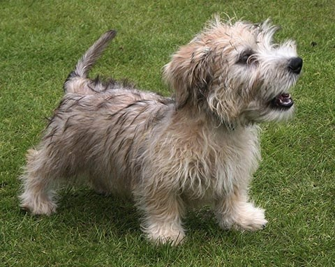 Glen of Imaal Terrier picture
