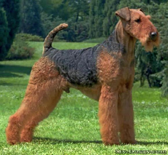 image  od airedale terrier