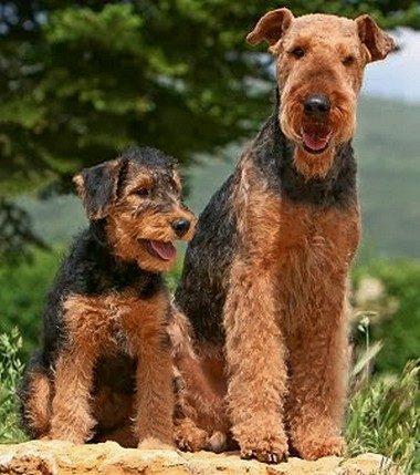 image of airedales dog and puppys