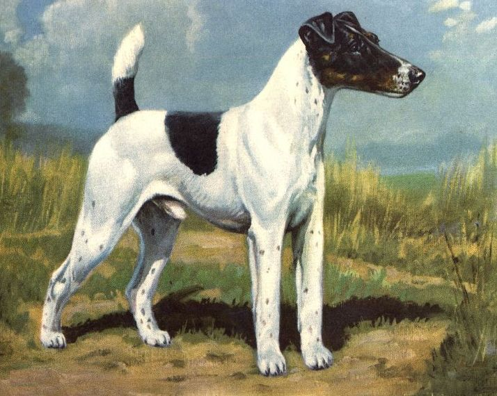 art Fox Terrier Smooth Coat
